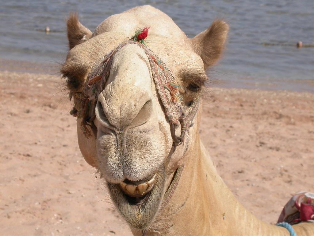 Из-за MERS саудовских граждан попросили не контактировать с верблюдами