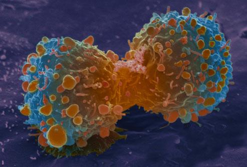 Контроль клеточного деления в нормальной и раковой клетке