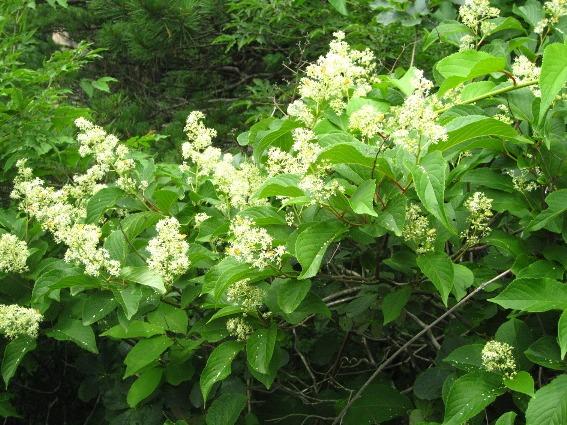 Экстракт китайской травы поможет при раке поджелудочной железы